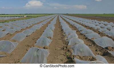 Watermelon and melon plants field