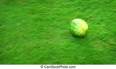 Ripe watermelon, rolling across freshly cut, green grass, leaving an indented track in its wake. FullHD 1080p footage
