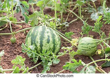 Watermelons in garden