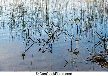 waterplants, 湖の 森林
