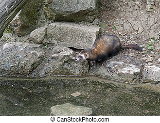 high angle shot showing a ferret waterside