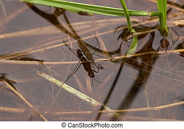 Waterstrider - Waterstride on a river surface