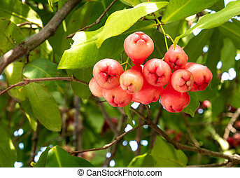 Watery rose apple tropical fruits the branch of tree closeup.