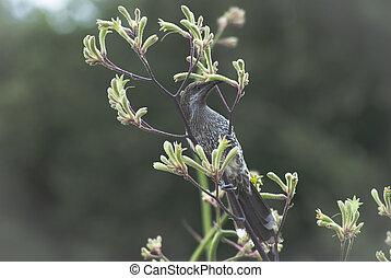 an Australian wattle bird upside down, eating nectar from the flowers of a kangaroo paw