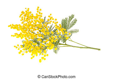 """Wattle branch isolated on white. Wattle flowers in Italy is the symbol for the """"Women's International Day""""."""