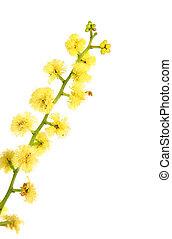 Wattle - globular inflorescence closeup - Wattle flowers are...