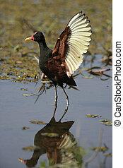 Wattled jacana, Jacana jacana, single bird in water, Brazil