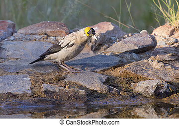 Wattled Starling drinking water at a waterhole in Kalahari