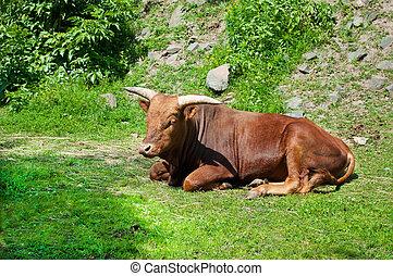 watusi, vaca
