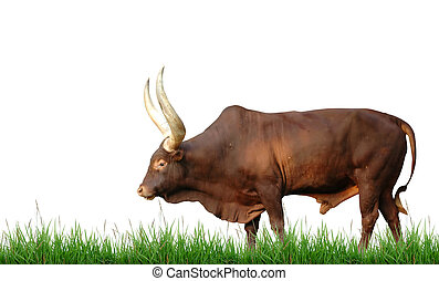 watusi with green grass isolated