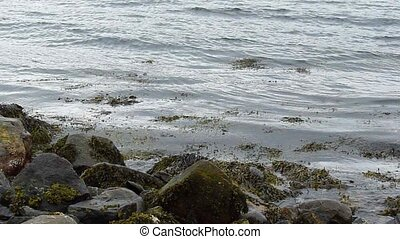 Waves moving towards a rocky shore, kelp in the water