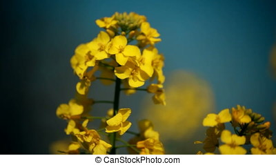 Waving Rapeseed Blossoms - Closeup macro shot of waving...