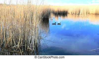 Waving reed along a lake in spring