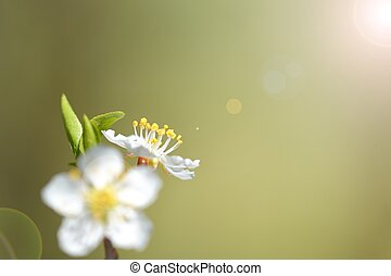 wax cherry flowers in bloom