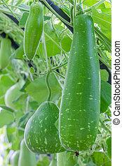 Wax gourd hanging on vine in green vegetable garden