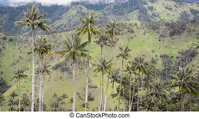 Wax Palm Landscape - Landscape view of wax palm trees in the...