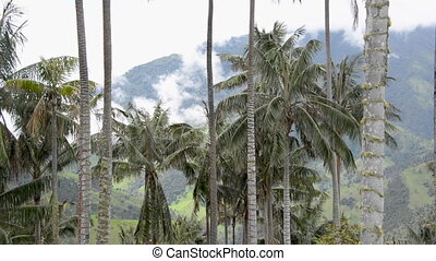 Wax Palm Trees Closeup - Closeup view of wax palm trees in...