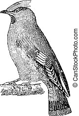 waxwing, 型, (bombycilla, ボヘミアン, garrulus), engraving.