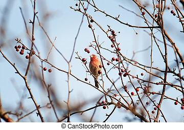 waxwing bird in winter