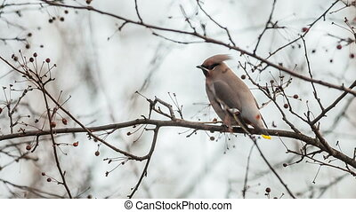 Waxwing (Bombycilla garrulus)  on a wild apple