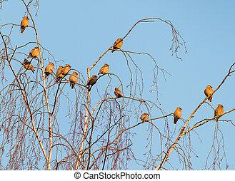 waxwing, uccelli, gregge, boemo, albero frusta, branches.