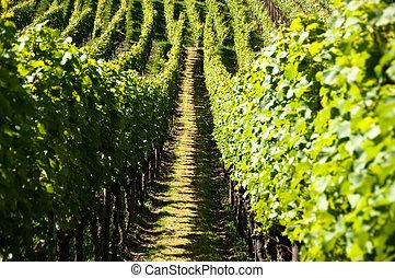 wcześnie, lato, wineyards