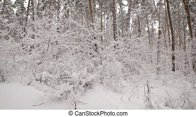 We can see the snow-covered trees and bushes winter forest, ...