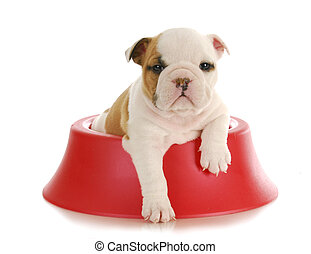 bulldog puppy - weaning puppy - 5 week old english bulldog...