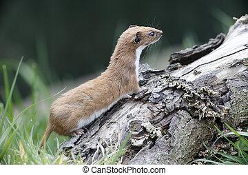 Weasel, Mustela nivalis, single mammal in grass, captive,...