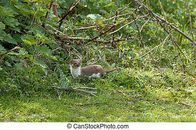 Weasel - Adult weasel in countryside