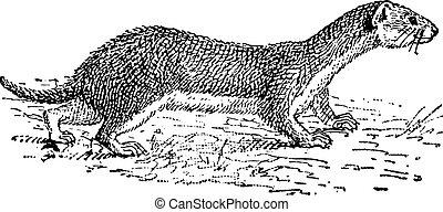 Weasel, vintage engraving. - Weasel, vintage engraved...