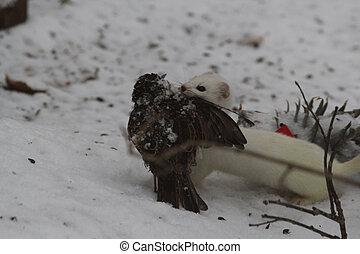 Weasel - White weasel with dead bird