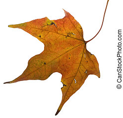 weatherbeaten, feuille, automne