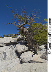 Weathered Tree San Jacinto