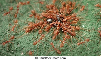 Weaver Ants Attacking a Beetle in Extreme Closeup - Cruel...
