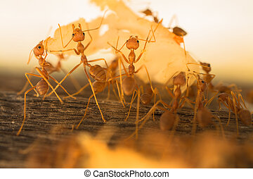 Ants - Weaver Ants carrying left over food to their nest.