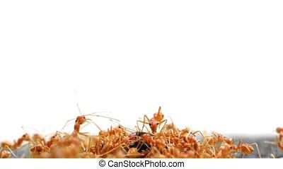 Weaver Ants swarming on an Unfortunate Beetle. - Hord of...