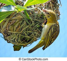 Weaver Bird Ploceidae on Nest Working - Weaver Bird or ...