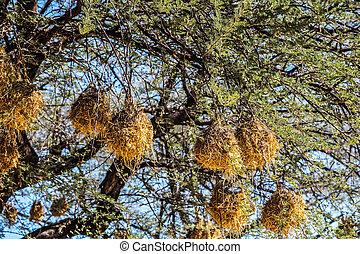 weaver vogel, nest