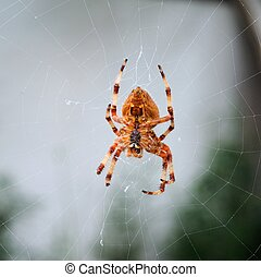 web., araignée jardin
