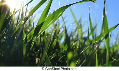 Web in green grass. Closeup.