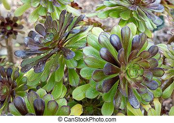 """webb, pflanze, &, aeonium, arboreum, """"nigrum"""", berthel"""