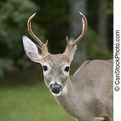 Whitetail deer buck that has some spider webs on his antlers