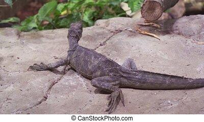 Weber's sailfin lizard (Hydrosaurus weberi) in terrarium...