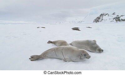 Weddell seal arctic cold ice close-up view