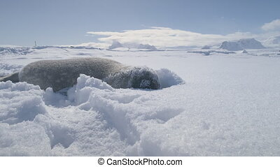 Weddell seal baby lying in snowdrift. Antarctica.