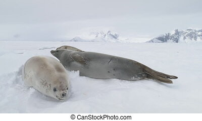 Weddell seal baby play muzzle close-up view