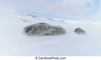 Weddell seal family in antarctica winter snow