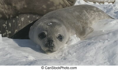 Weddell seal puppy rest adult mother front view - Weddell...