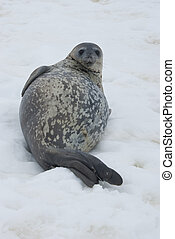 Weddell seals resting on the ice.